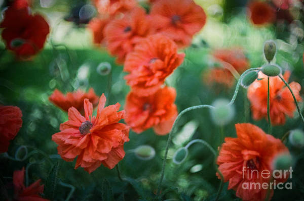 Photograph - Poppy Madness by Carrie Cole