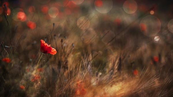 Red Flower Photograph - Poppy by Nicodemo Quaglia
