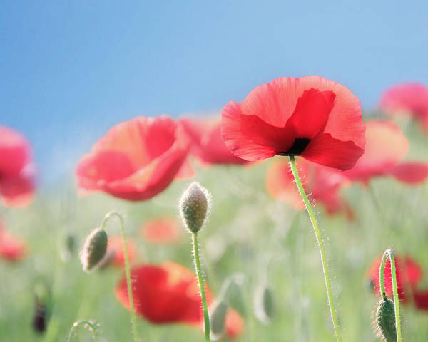 Home Field Photograph - Red Poppies by Amy Tyler