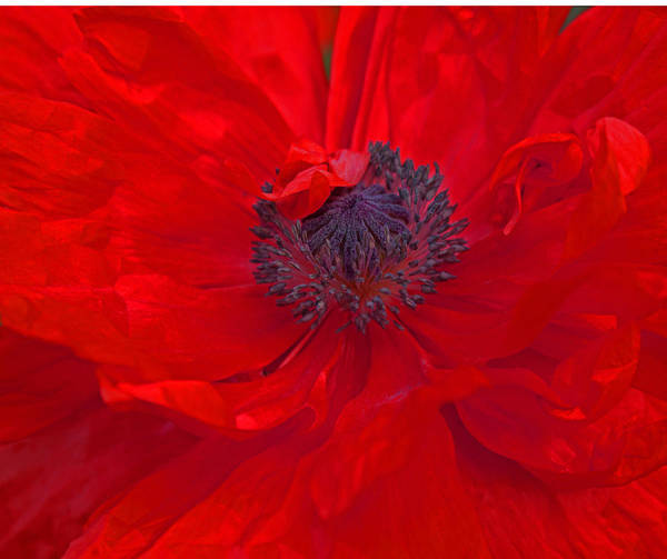 Photograph - Poppy - Red Envy by Joanne Smoley