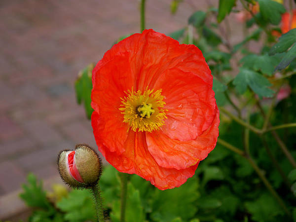Photograph - Poppy by Richard Reeve