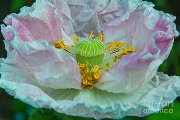 Mission Bc Photograph - Poppy by Rod Wiens