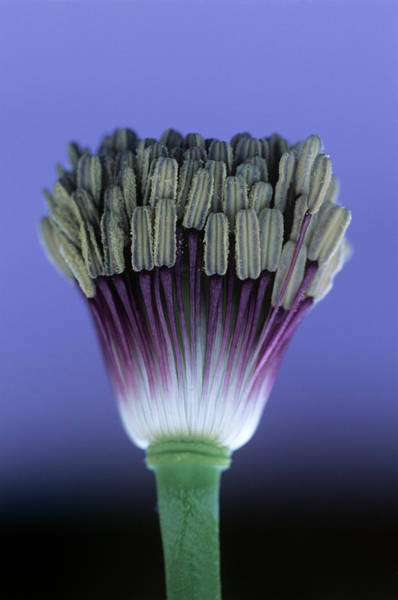 Stamen Photograph - Poppy Stamens (papaver Sp.) by Steve Taylor/science Photo Library