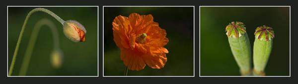 Photograph - Poppy Triptych by Pete Hemington