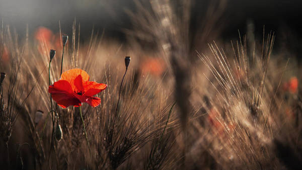 Red Flower Photograph - Poppy With Corn by Nicodemo Quaglia