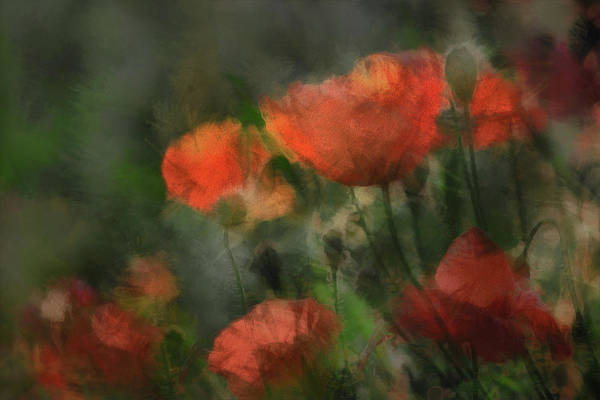 Poppies Photograph - Pops by Gilbert Claes