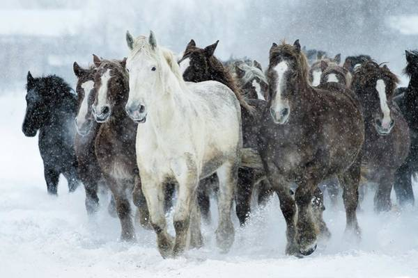 Snowfield Photograph - Populations Of Horses by Makieni's Photo