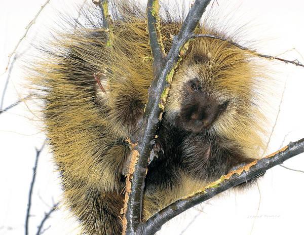 Photograph - Porcupine by Leland D Howard