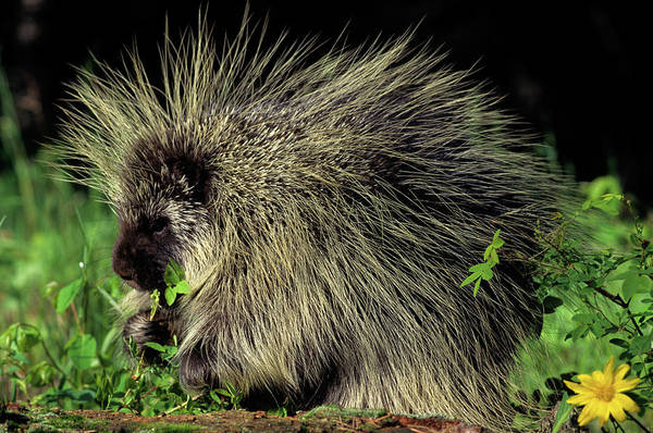 Bad Hair Wall Art - Photograph - Porcupine On Log Eating Leaves by Animal Images