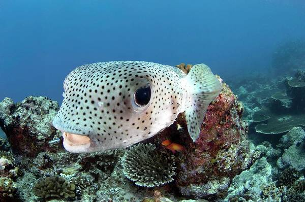 Wall Art - Photograph - Porcupine Pufferfish by Scubazoo/science Photo Library