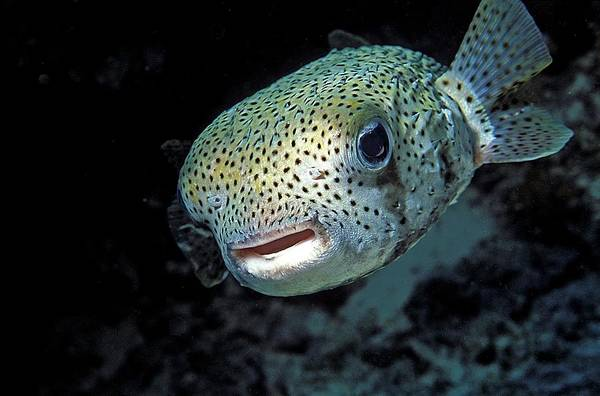 Diodon Photograph - Porcupinefish by Clay Coleman/science Photo Library