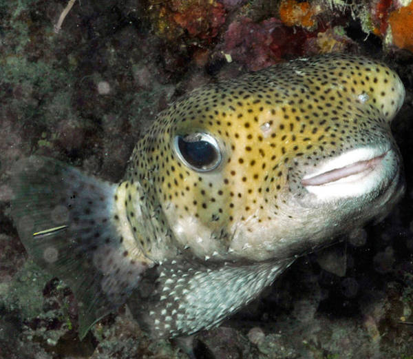 Diodon Photograph - Porcupinefish Diodon Hystrix by John Maraventano