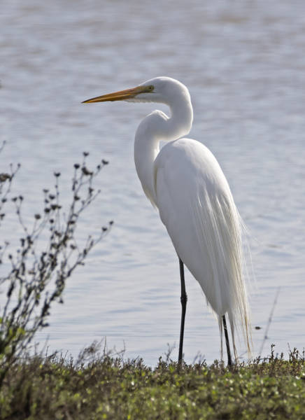 Photograph - Portrail Of An Egret by Loree Johnson