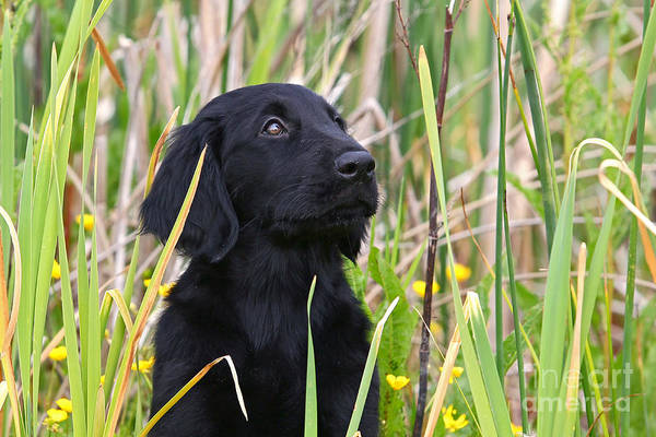 Kopf Photograph - Portrait Black Flat Coated Retriever Puppy In Reed by Dog Photos