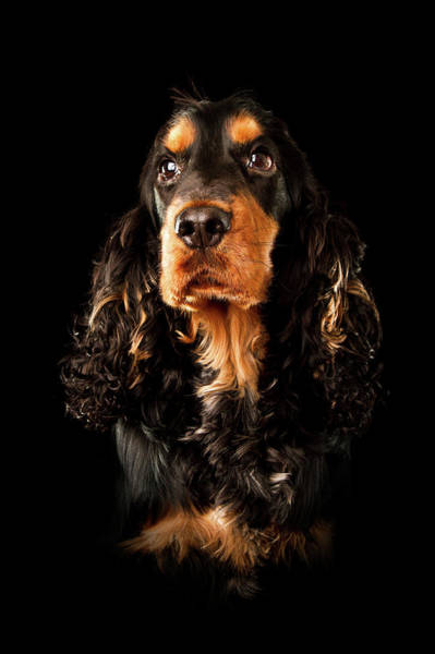 Cocker Spaniel Photograph - Portrait Of A Black And Tan English by Andrew Davies