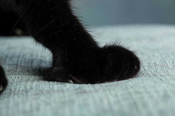 Black Cats Photograph - Portrait Of A Black Cats Paws On A Chair by Animal Images