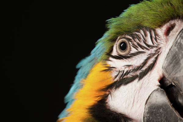 Macaw Photograph - Portrait Of A Blue And Gold Macaw by Tim Platt