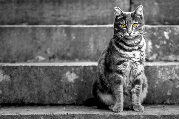 Photograph - Portrait Of A Cat by Fabrizio Troiani