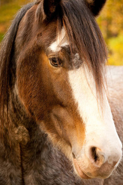 Portrait Of A Clydesdale Art Print