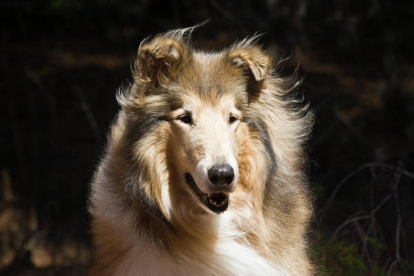 Collie Photograph - Portrait Of A Collie With Dark by Zandria Muench Beraldo
