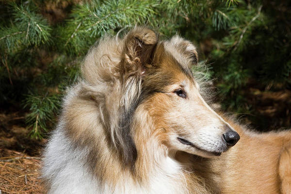 Collie Photograph - Portrait Of A Collie by Zandria Muench Beraldo