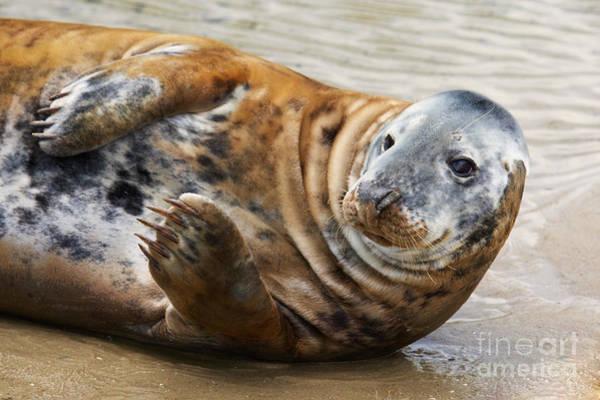 Photograph - Portrait Of A Common Seal  by Nick  Biemans