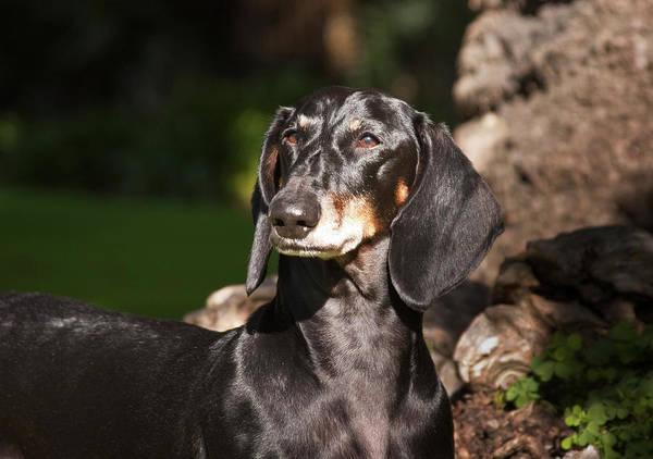 Confidence Photograph - Portrait Of A Dachshund Standing by Zandria Muench Beraldo
