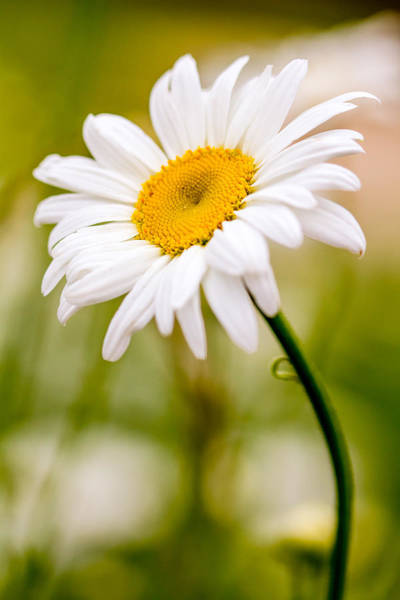 Photograph - Portrait Of A Daisy by Teri Virbickis