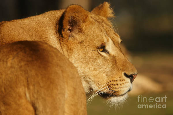 Photograph - Portrait Of A Dreamy Lioness  by Nick  Biemans