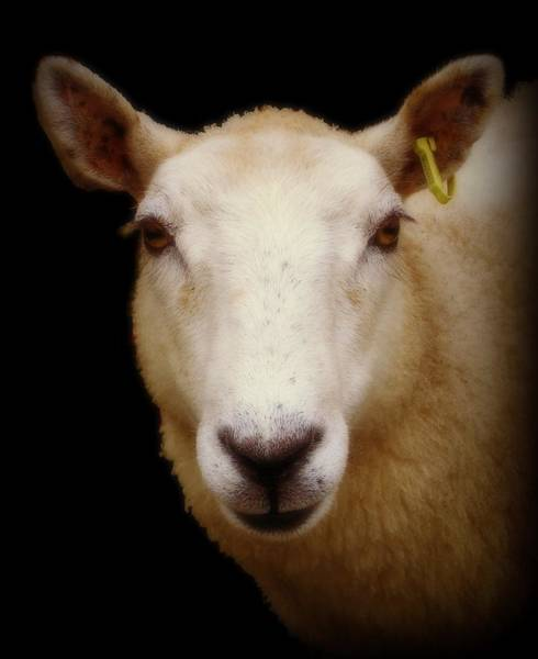 Portrait Of A Ewe Art Print