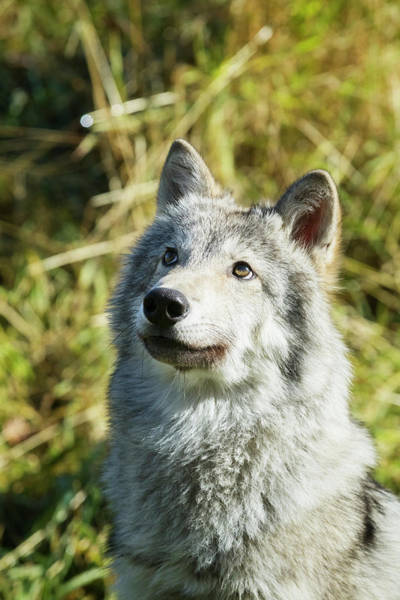 Wall Art - Photograph - Portrait Of A Female Gray Wolf  Canis by Doug Lindstrand