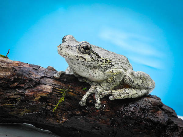 Photograph - Portrait Of A Frog - 2 by Frank Mari