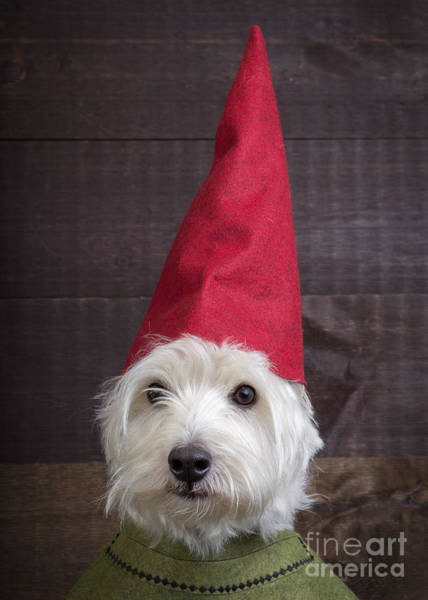 Westie Photograph - Portrait Of A Garden Gnome by Edward Fielding