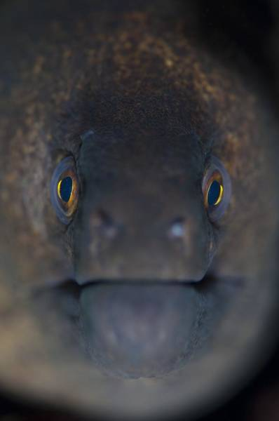 Wall Art - Photograph - Portrait Of A Giant Moray Eel by Science Photo Library