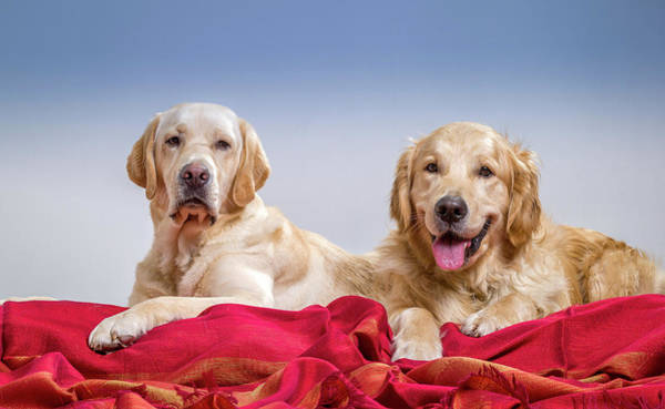 Pedigreed Photograph - Portrait Of A Golden Retriever by Animal Images