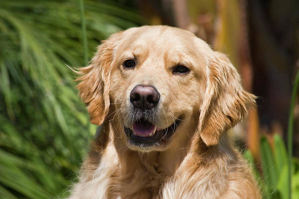 Service Dog Photograph - Portrait Of A Golden Retriever Sitting by Zandria Muench Beraldo