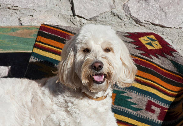 Service Dog Photograph - Portrait Of A Goldendoodle Lying by Zandria Muench Beraldo
