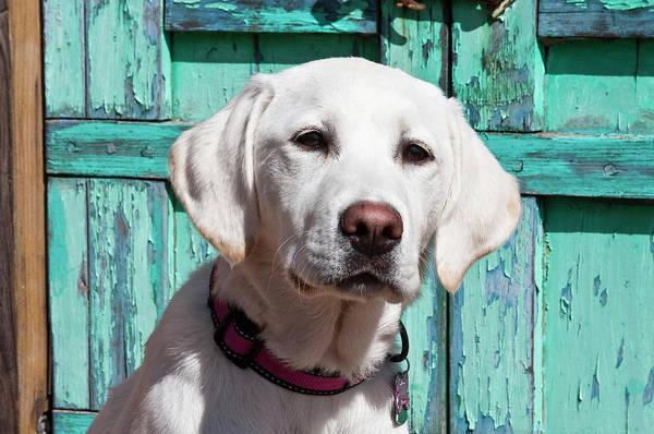 Service Dog Photograph - Portrait Of A Goldendoodle Puppy by Zandria Muench Beraldo