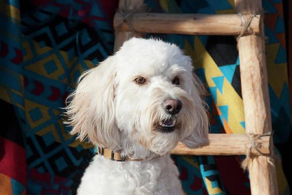 Service Dog Photograph - Portrait Of A Goldendoodle by Zandria Muench Beraldo