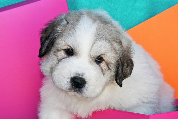 Sweet Puppy Photograph - Portrait Of A Great Pyrenees Puppy by Zandria Muench Beraldo