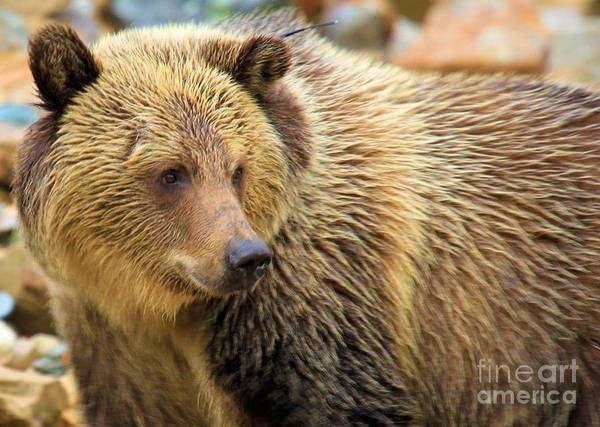 Photograph - Portrait Of A Grizzly by Adam Jewell