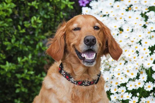 Service Dog Photograph - Portrait Of A Happy Golden Retriever by Zandria Muench Beraldo