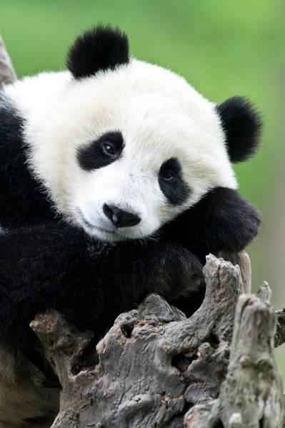 Carnivora Photograph - Portrait Of A Juvenile Giant Panda by Tony Camacho