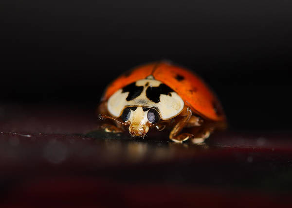 Ladybird Wall Art - Photograph - Portrait Of A Lady by Susan Capuano