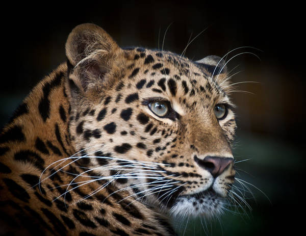 Portrait Of A Leopard Art Print