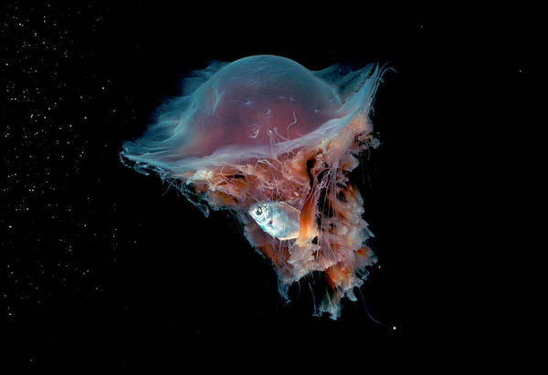 Lion's Mane Jellyfish Photograph - Portrait Of A Lions Mane Jellyfish by David Doubilet