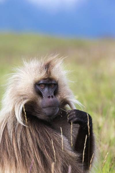 Wall Art - Photograph - Portrait Of A Male Gelada Baboon by Peter J. Raymond