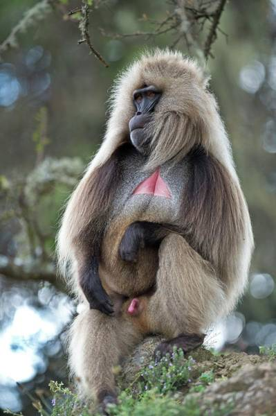 Baboons Photograph - Portrait Of A Male Gelada Baboon. by Tony Camacho