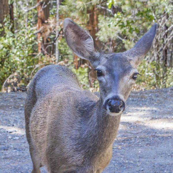 Photograph - Portrait Of A Mule Deer by Nicholas Blackwell