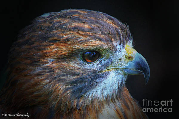 Photograph - Portrait Of A Red-tailed Hawk by Barbara Bowen